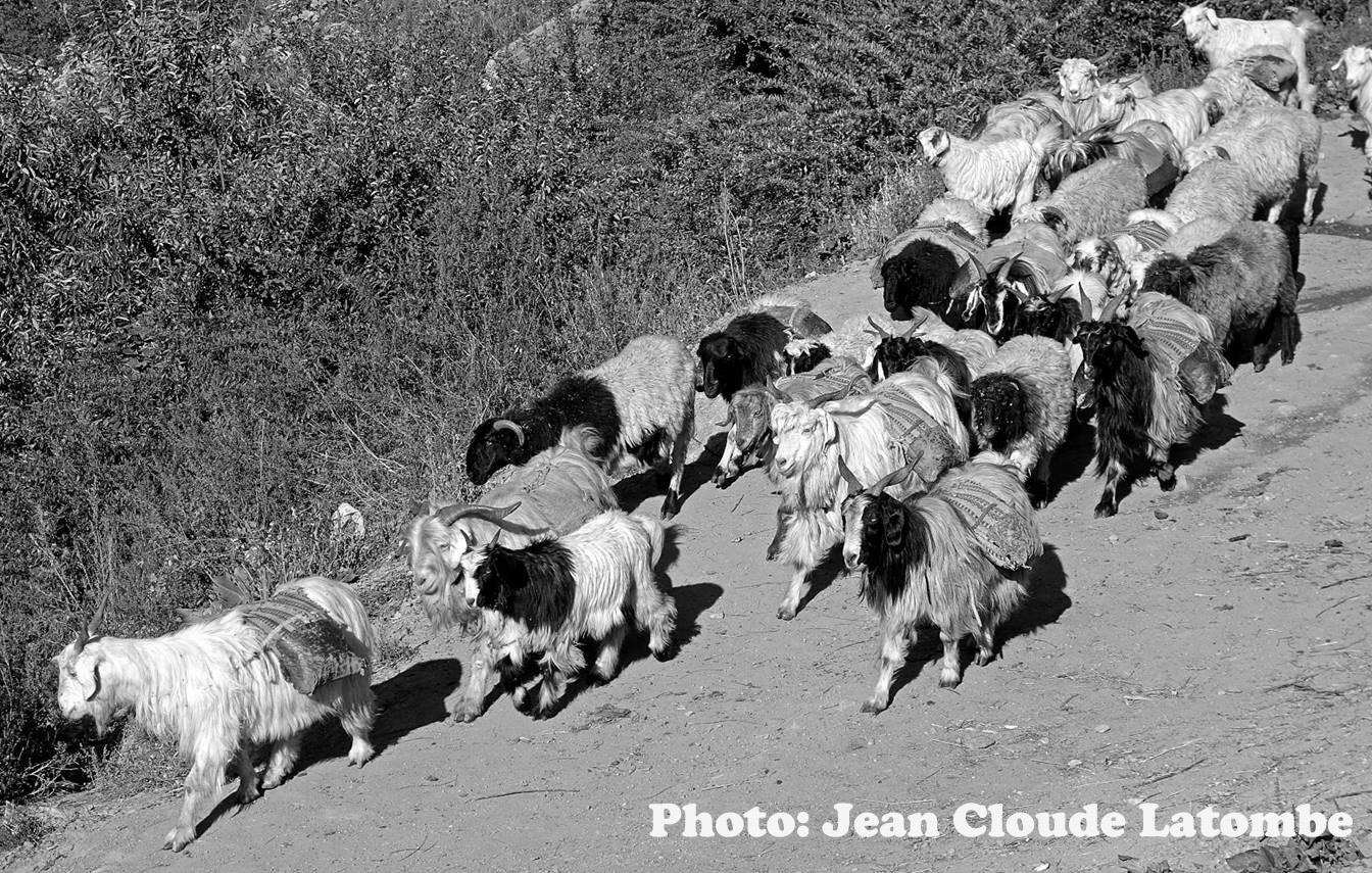 Goat Caravan