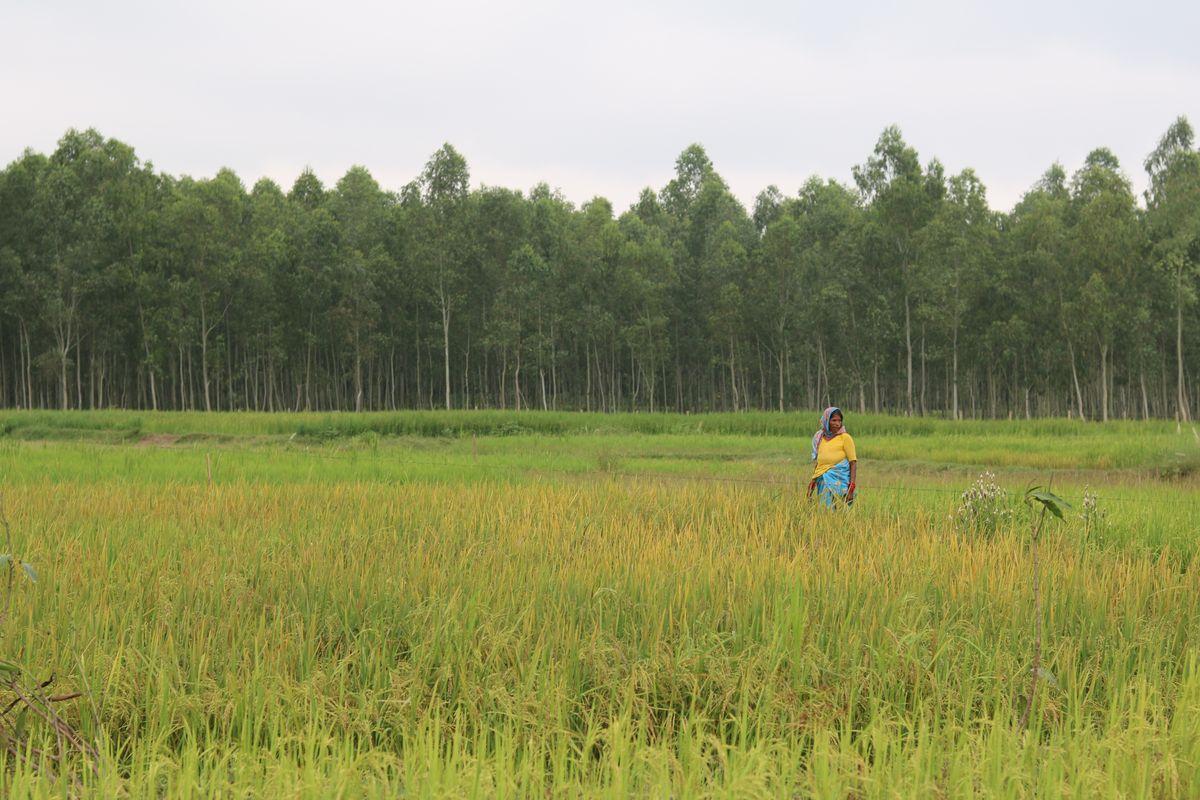 Ragina Khatun in her rice field in Gaushala Municipality, Mahottari.